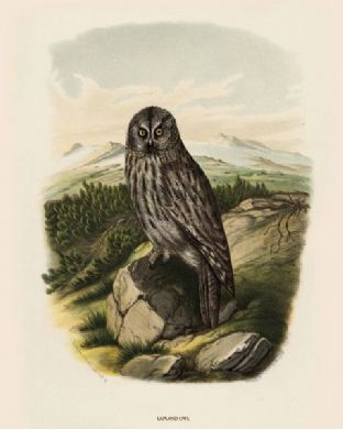 Owl, Lapland by O V Riesenthal